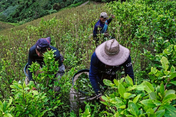 colombia briceno coca harvest