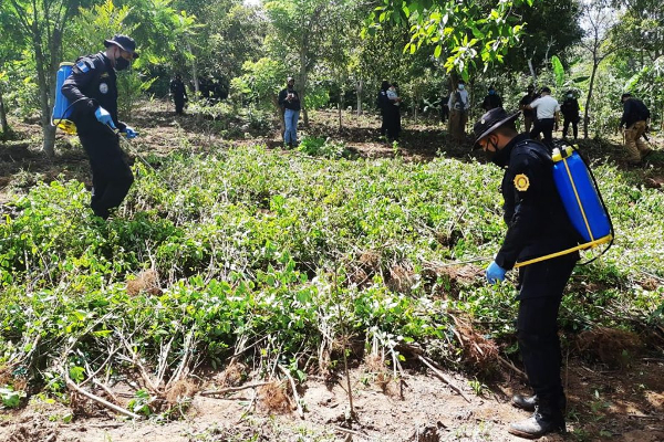 guatemala coca eradication