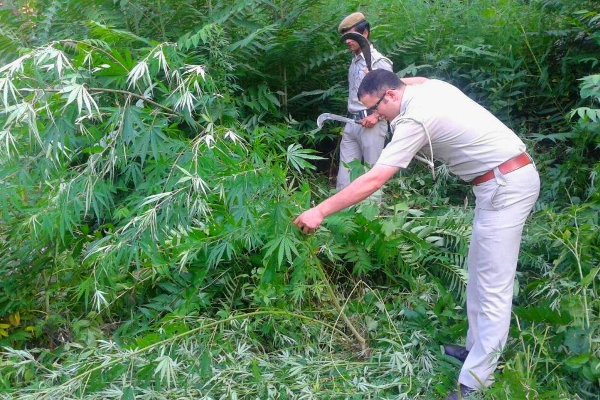 india cannabis eradiction kullu