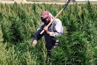 lebanon cannabis field