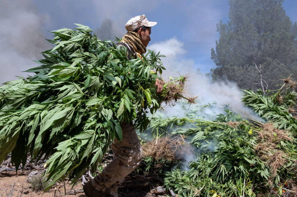 mexico destroying cannabis fied