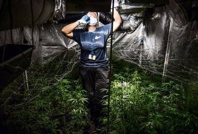 netherlands-cannabis-plantation