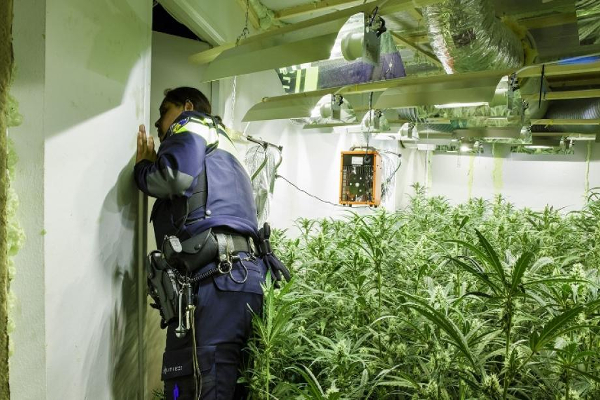 netherlands cannabis plantation2