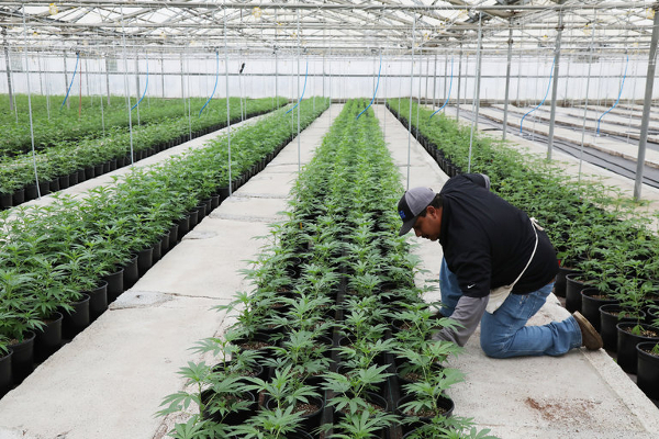 us california cannabis industry
