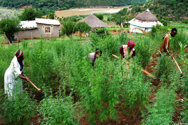 sa cannabis cultivation
